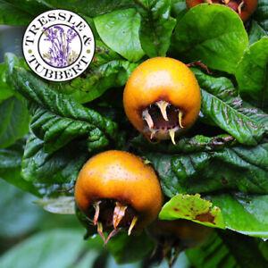 RARE Mespilus germanica Sandra Medlar 2 seeds  UK SELLER