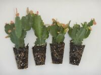 U Pick Any 4 Christmas Cactus/Schlumbergera Plants 115  Varieties to Choose From