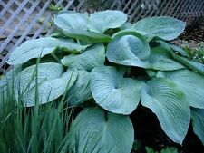 10 Hosta Elegans Shade Flower Seeds + Gift & Comb S/H