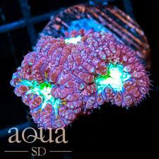 New listing Asd - 079 Mega Bomb Blasto - Wysiwyg - Aqua Sd Live Coral Frag