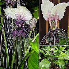 Außergewöhnlich•Fledermausblume•10 Samen/seeds •Tacca integrifolia•Bat Flower