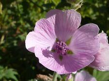 1 gr Malvavisco (Althaea Officinalis) (Aprox 500 semillas)