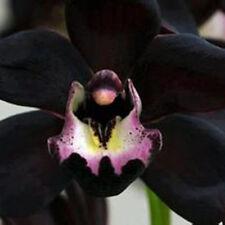100pcs Semi neri Cymbidium Faberi fiore di orchidea Set