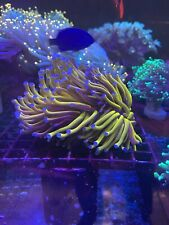 Toxic Headed Gold Torch - WYSIWYG Live Coral Frag - Pop Corals Candy Shop