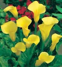 CALA amarilla BULBO Lily Seed lirios agua Zantedeschia aethiopica semillas calla