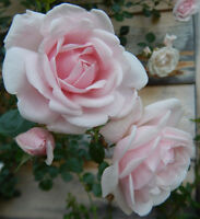 Climbing Rambling Rose Scented Rose Bare Root Plant  'New Dawn' Pink