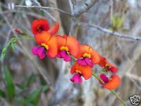 Coral/Flame Pea Seed Frost/Drought Hardy Orange/Red Flower Evergreen