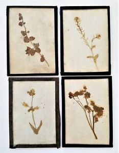 LOT antique 4pc BOTANY PRESSED GERBAL PLANT SPECIMEN behind glass early 1900s