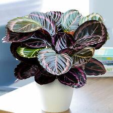 1 x Rose Painted Calathea Surprise Star | Best Indoor Plants (25-35cm Incl. Pot)