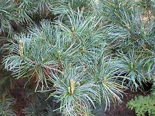 Pinus parviflora Japanese White Pine Seeds!