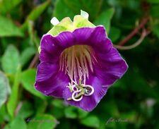 Rare-tasse et soucoupe vine violet-Cobaea scandens - 14 graines-fleur