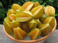 *UNCLE CHAN* 50 seed STAR FRUIT Averrhoa Carambola TASTE GREAT New collect C445