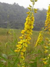 Crotalaria Pallida Seeds, Smooth Rattlebox, Rattlepod Perennial Herb From USA