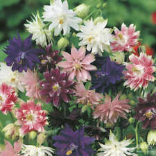 Seeds Aquilegia Terry Mix Flower Outdoor Perennial Garden Cut Organic