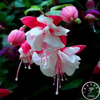 9 Kinds Fuchsia Perennial Bell Flowers Bonsai Plants Garden 100 PCS Seeds 2019 N