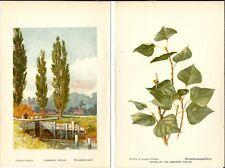 Stampa antica PIOPPO ITALICO ALBERO FOGLIE botanica Populus 1890 Antique print