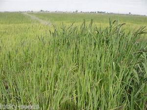 Japanese Millet Seed - 1 Lb.