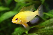 Golden ram stunning dwarf cichlid, tropical fish