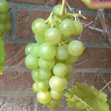 Phoenix helle Weintraube Weinstock Wein 60/100 cm pilzfest Obstbaum Pflanze