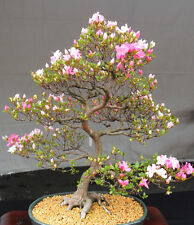 7 Japanese Flowering Cherry Blossom Bonsai Seeds,Exotic Rare Sakura Bonsai Seeds