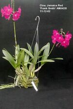 Orchid in Spike - Ctna. Jamaican Red-Pic shows what a specimen plant looks like.