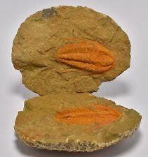 TRILOBITE FOSSIL, Acadoparadoxides specimen pair, 540 myo, Morocco (F501)