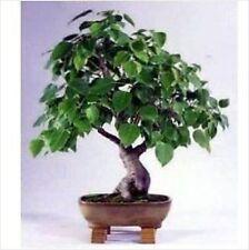 Bodhi Tree seeds PEEPAL FICUS religiosa  20 seeds