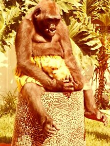 Berosoni's Gorilla and His best friend the long hair Chihuahua Color Snapshot