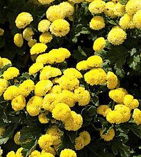 Rare - Goldball Flower - 750 Seeds - Chrysanthemum Tanacetum parthenium