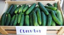 35 MARKETMORE 76 CUCUMBER 2018 (all non-gmo heirloom vegetable seeds!)