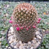 Mammillaria matudae Cactus Cacti Succulent Real Live Plant