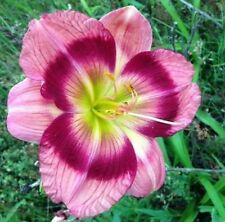 Vivid Veins x Peppermint Sommersault Daylily Seeds Perennial Flower 2017