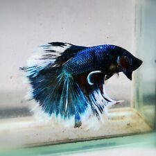 Live Betta Fish - Male - Fancy Blue Avatar Halfmoon (AMMAUG85) (High-Grade)