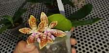 Phalaenopsis corningiana mit Blüten