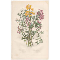 Anne Pratt antique 1st ed 1860 botanical print, Pl 14 Fumitory, Corydalis