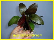 PLANTA DE ACUARIO. Echinodorus RED DEVIL ( Roja).