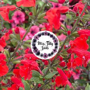 1+1 gratis Ziersalbei in rosa Samen Blumen Rarität