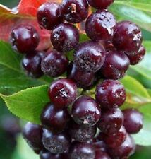 Red Aronia berry edible fruit shrub tree seedling LIVE PLANT Hardy