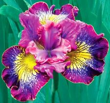 Stunning Perennial Iris Bulbs Bearded Audacious Impressive BonsaiFlower Fragrant
