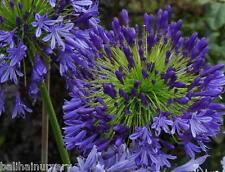 3 Agapanthus Regal Beauty  deep violet blue flowers excellent garden plant