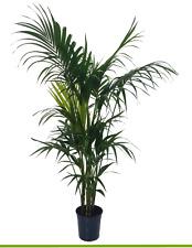 Zimmerpflanze ✓ Büropflanze ✓ Kentia Palme XL 180cm
