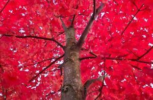 Amur 'Flame' Maple Tree 3-5'