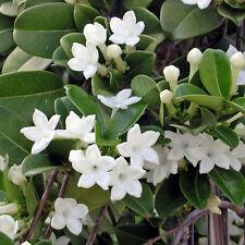 Stephanotis Floribunda - Madagascar Jasmine - Rare Tropical Plant Seeds (5)