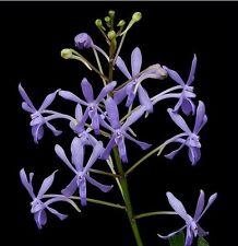 VANDA  ORCHIDEE   JUNGPFLANZE  DARWINIA  BLUE  CHARM    2-15