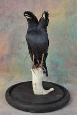 Taxidermy freak two head myna black bird mounted for sale free ship to CA