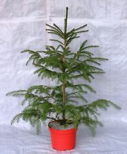 Norway Spruce, Container Grown in Festive Red and Top Cover 75 - 100cm. inc.Pot
