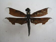 - Libelle aus dem tropischen Afrika-  rar