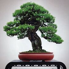 1 Pack 30 Cedar Bonsai Seeds Rare Cryptomeria Japonica Tree Seeds S056