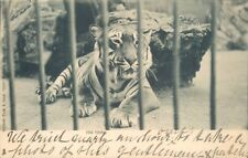 Postcard the tiger Raphael Tuck Zoo Series posted 1901 Very Early Undivided Back