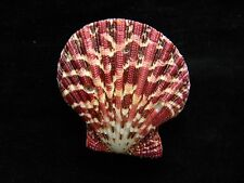 Sea Shells Pecten Palliun / Painted Scallop 52mm ID#3498B